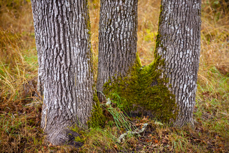 A close-up view of a trio of tree trunks Stock Photo