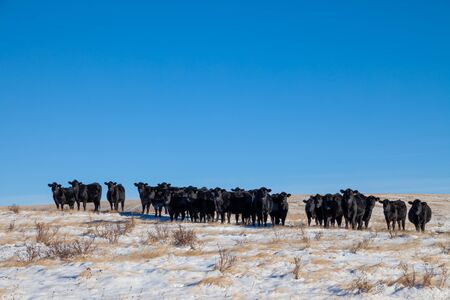 A heard of free range cattle on a ranch in southern Alberta, Canada
