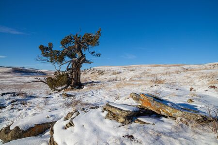 An old limber pine growing on a rocky outcrop in southern Alberta, Canada in winter