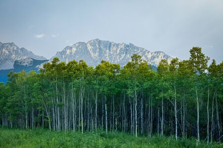 A stand of Aspen trees and a mount Yamnuska in southern Canadian Rockies in Alberta, Canada