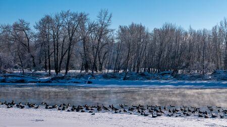Wild Canada Geese on the shore of a river in Canada in winter