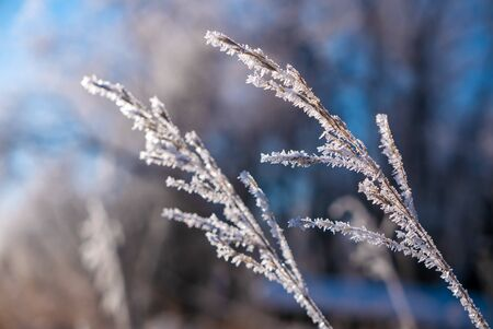 Close up detail of grass in the middle of winter covered in hora frost ice crystals Stock Photo