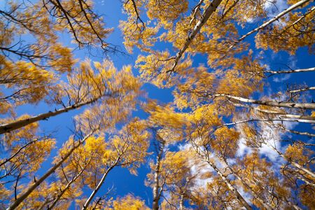 Aspen tree canopy swaying in the wind in autumn with bright golden yellow foliage