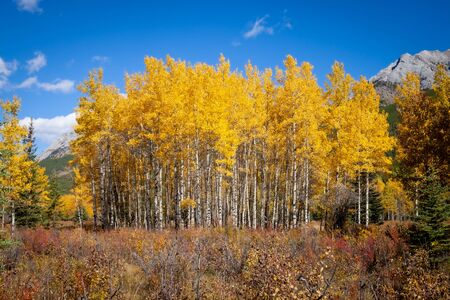 Aspen trees with golden yellow autumnal leaves in Kananaskis in the Canadian Rocky Mountains. Alberta, Canada