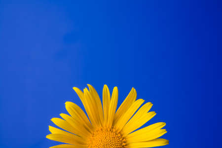 Single yellow flower isolated on a blue background Banco de Imagens