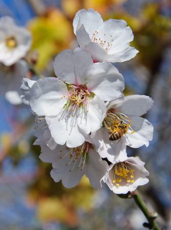 honey apple: Bee and white almond flower against the blue sky