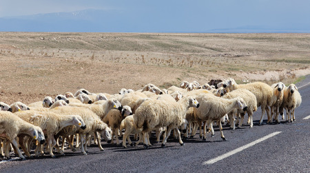 Sheep goes asphalting of roads in Turkey. In the background of plowed field photo