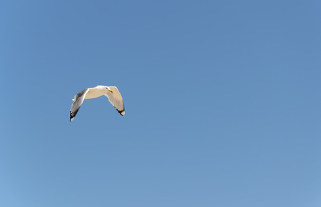 bird feathers: Seagull flying high in the blue sky Stock Photo