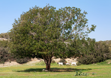cyprus tree: The old olive tree hid in the shadow of three goats, cyprus