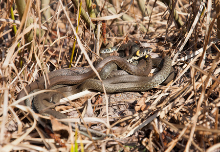 bask: Group of snakes bask in the sun in the dry grass. Ponds. Ukraine