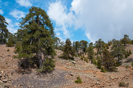 inhospitable: Huge lonely old pine on the trail high in the Troodos Mountains. Cyprus