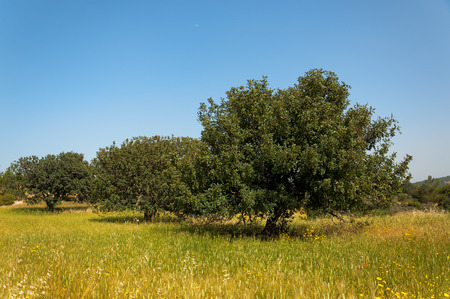 View of an carob tree orchard in a field of yellow wheat in the countryside of Cyprus. photo