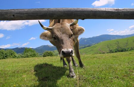 livestock sector: red cow looks into camera, over summer grassland with blue sky Stock Photo