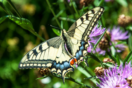 machaon: Old World Swallowtail (Papilio machaon) macro on a flower Stock Photo
