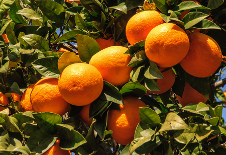 farm fresh: Ripe tangerines on a large background of green leaves