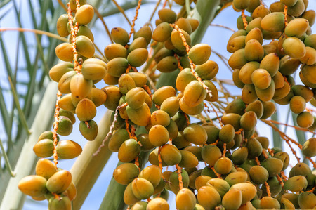 kimri: Bunch of yellow dates on a palm tree close-up Stock Photo