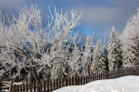 mountainside: winter rime and snow covered fir trees on mountainside Carpathian Mountains, Ukraine Stock Photo