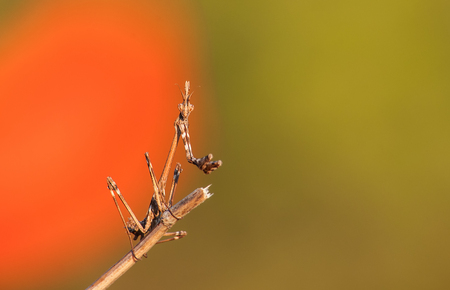 Praying mantis Empusa fasciata ready to ambush prey. A mantis in the family Empusidae on a plant stem