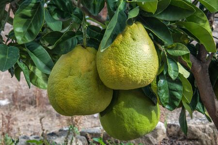 citrus maxima: large pomelo fruit on the tree close-up