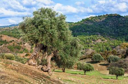 cyprus tree: The old olive tree on the field. Cyprus