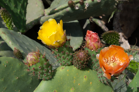 prickly flowers: Yellow and red flowers of prickly pears. Close-up Stock Photo