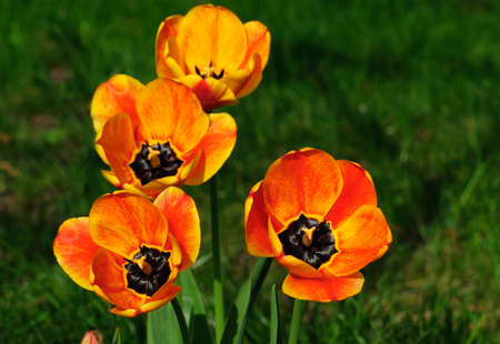 tulips in green grass: orange tulips on a background of green grass closeup
