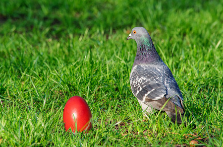 pigeon egg: Pigeon on the grass looking at the orange Easter Egg Stock Photo