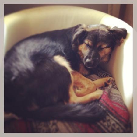 otganimalpets01: German shepherd sleeping on chair