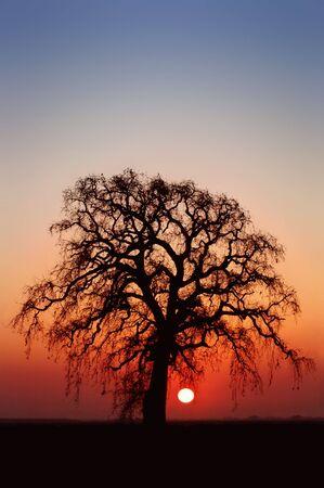 the setting sun:  Winter Oak Tree and Setting Sun