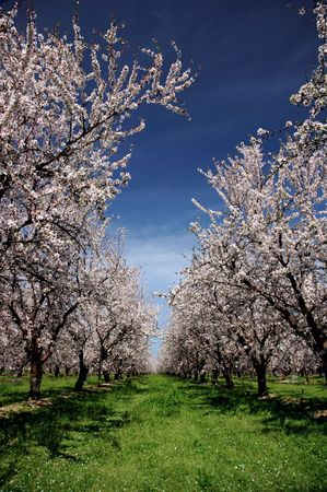 botanical farms: Almond Orchard In Bloom Under Springtime Skies Stock Photo
