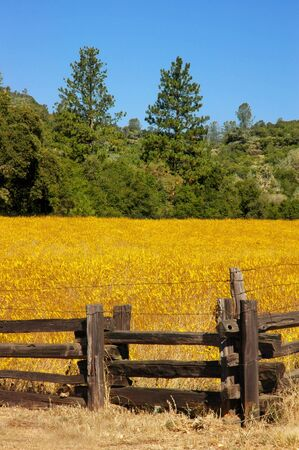 split rail: Yellow Wild Flower Meadow and Split Rail Fencing, Amcircan West, Rural California