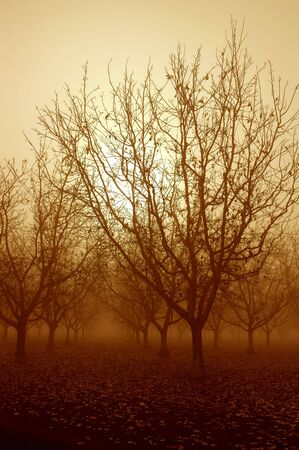 Sepia Tone Sunrise Through a Grove of Bare Walnut Trees in Morning Fog photo