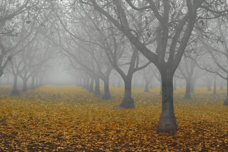 Bare Grove of Walnut Trees in Fog with Red Fall Leaves on Ground, Perspective Composition