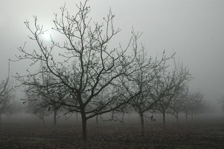 Bare Grove of Walnut Trees in Winter Fog with Muted Sun Behind photo