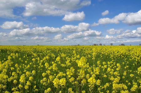 푹신한 흰 구름과 깊고 푸른 하늘 아래 겨자 꽃 스톡 콘텐츠