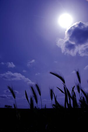 wild oats: Wild Oats Silhouetted Against Stylized Blue Sky, Single Cloud, and Sun Stock Photo