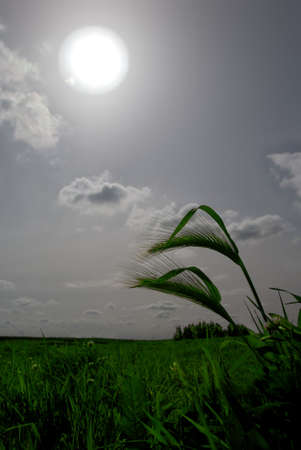 wild oats: Dramatic, Stylized View of Wild Oats with Stylized Green Colors Contrasting Against Muted, Stormy Sky and Sun