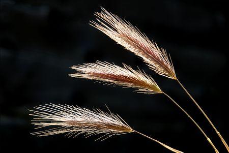 wild oats: Wild Oats in Springtime Against Dark Background Stock Photo