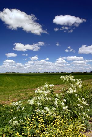 yarrow: Wild Yarrow, Mustard, Wild Turnips, and Cultivated Alfalfa, Field Beneath Dramatic Spring Sky and White Puffy Clouds, Central Valley, California