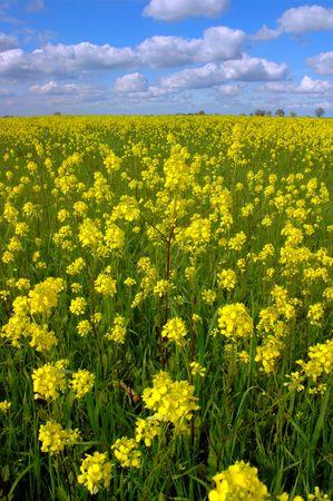 california delta: Vast Springtime Field of Wild Mustard Flowers Under Puffy White Clouds and Deep Blue Sky, Sacramento Delta, California, Digital Velvia Stock Photo