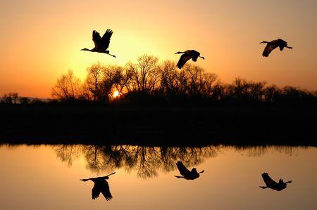california delta: Silhouette of Endangered Sandhill Cranes and Golden Sunset Reflected in Wildlife Pond, San Jaoquin Delta, California Stock Photo