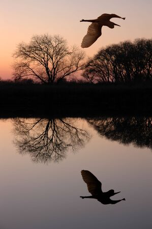 eventide: Silhouette of Great Blue Heron Flying over Riparian Reflection, San Jaoquin Delta, California