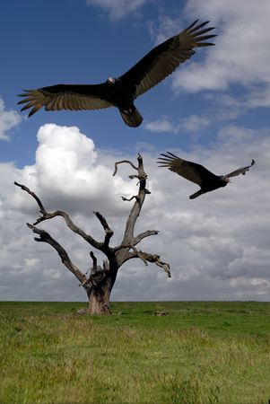 Turkey Vultures Circle Dead Tree Under Foreboding Sky photo
