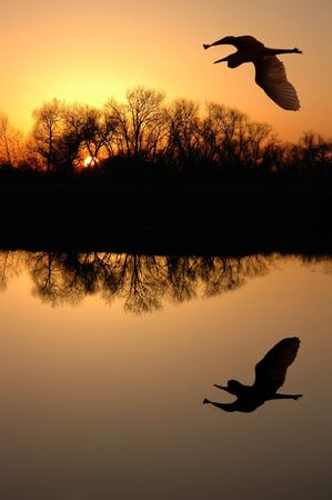 Golden Sunset and Silhouette of Great Blue Heron Flying over Riparian Reflection, San Jaoquin Delta, California