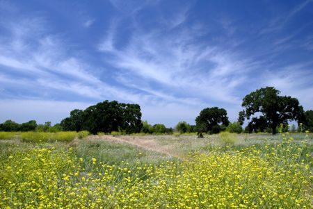 stratus: Field of Wild Mustard Flowers Under Stratus Clouds and Blue Summer Sky  Stock Photo
