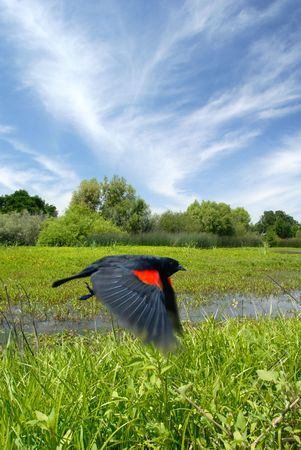 wildlife preserve: Red Wing Blackbird in Flight over Summer Pond, Consumnes River Wildlife Preserve, California