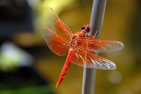 swampland: Bright Orange Dragon Fly, Wings Spread, Resting Against Green Background
