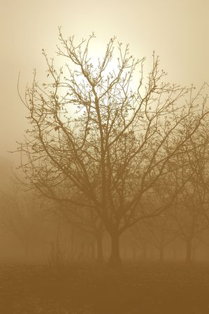 Soft Sepia Tone Silhouette Sunrise Through a Grove of Bare Walnut Trees in Fog photo