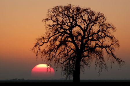 Golden Silhouette of Bare Winter Oak Tree Against Setting Red Sun