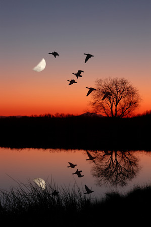 Wild Geese Flying Against Moon at Majic Hour Sunset, Reflected in Peaceful, Still Pond Stock Photo